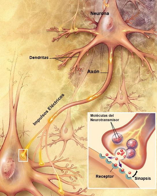 Ejemplo de las neuronas y Axon. Imagen de en.wikipedia.org