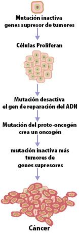 El cáncer es causado por una serie de mutaciones. Cada mutación altera el comportamiento de la célula en cierta medida.