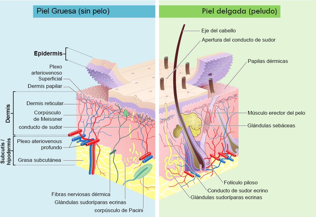 imagen de folículo del pelo por Madhero88 and M.Komorniczak en en.wikipedia.org